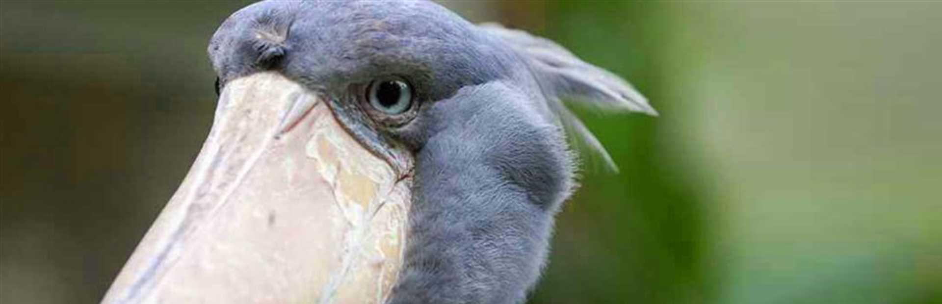Zambia - Shoebill Safari